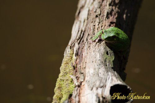 Forest Green Tree Frog EF800 F5.6L