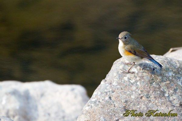 ルリビタキ (メス) Red-flanked bluetail
