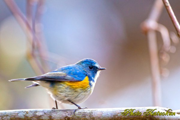 ルリビタキ (オス) Red-flanked bluetail