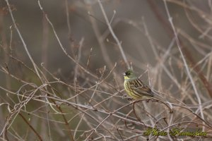 Black-faced bunting? アオジ?