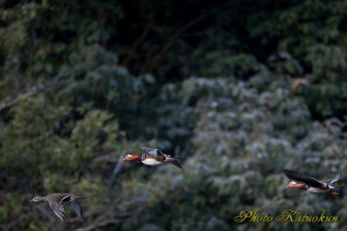 オシドリ Mandarin duck EF540