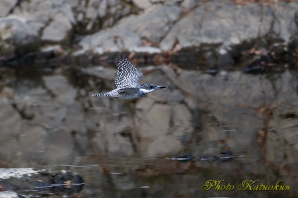 Crested Kingfisher ヤマセミ EF540