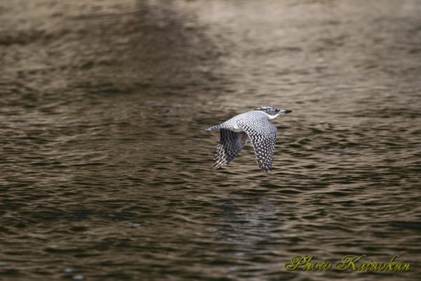 Crested Kingfisher ヤマセミ