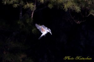 ヤマセミ Crested Kingfisher