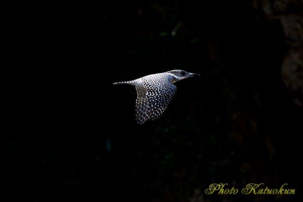 ヤマセミ Crested Kingfisher EF540