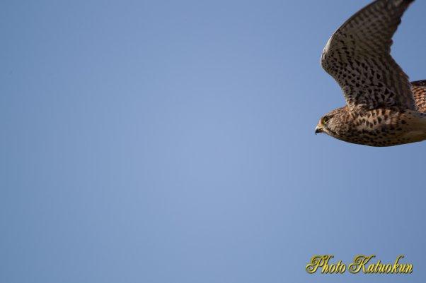 Common Kestrel チョウゲンボウ