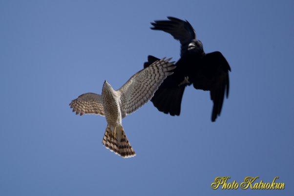 A Crow mobbing Sparrowhawk