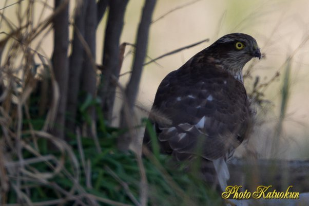 Sparrowhawk  (Photo with trimming)