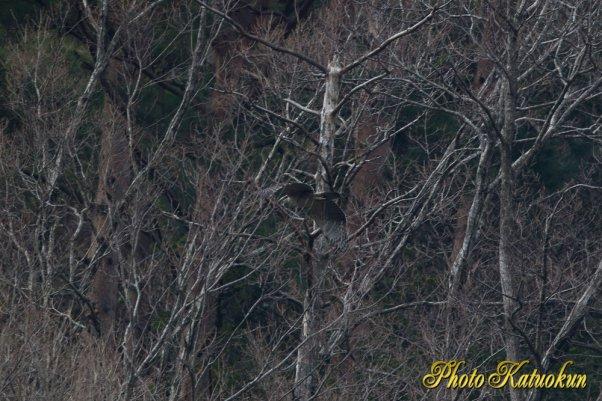 クマタカ  Mountain Hawk-eagle