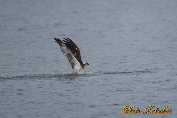 Osprey   ※ Canon EOS-1D Mark IV + EF800 F5.6L IS USM (M-Mode F5.6 ISO400 SS1/1000)
