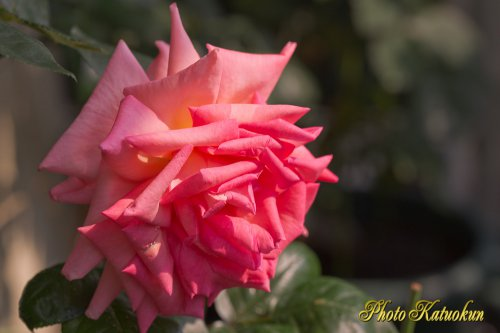 The name of the rose is not understood.