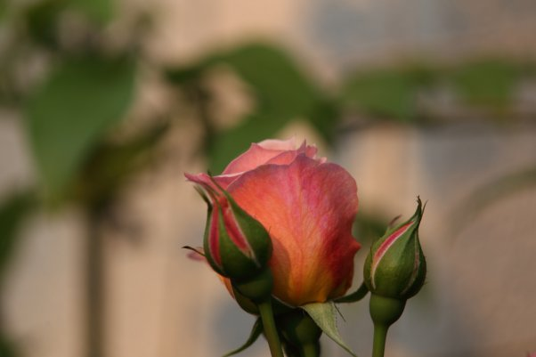 朝焼け フランシス ブレーズ Francis Blaise (Guillot Roses)