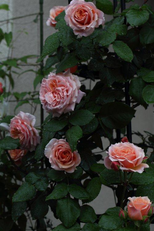 ※フランシス ブレーズ Francis Blaise (Guillot Roses)