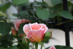 フランシス ブレーズ Francis Blaise (Guillot Roses)