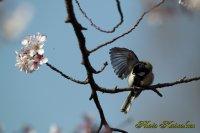 Cherry blossoms Japanese Tit EF540