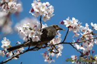 Cherry blossoms Brown-eared Bulbul