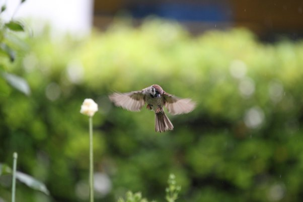 Tree Sparrow (SS 1/500)