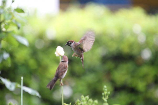 Tree Sparrow (SS 1/250)