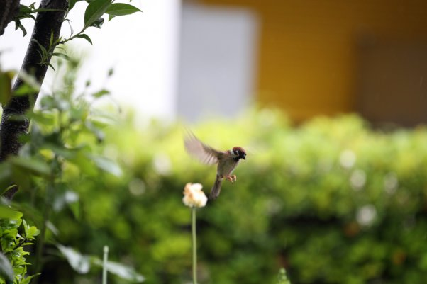Tree Sparrow (SS 1/200)