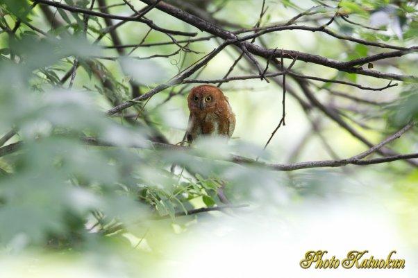 コノハズク Eurasian Scops-owl 27/07/2011