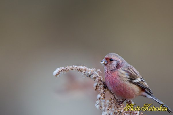 EF500 Long-tailed Rosefinch