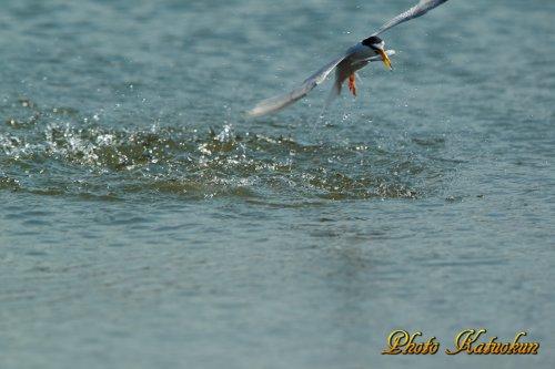 コアジサシ(Little Tern)