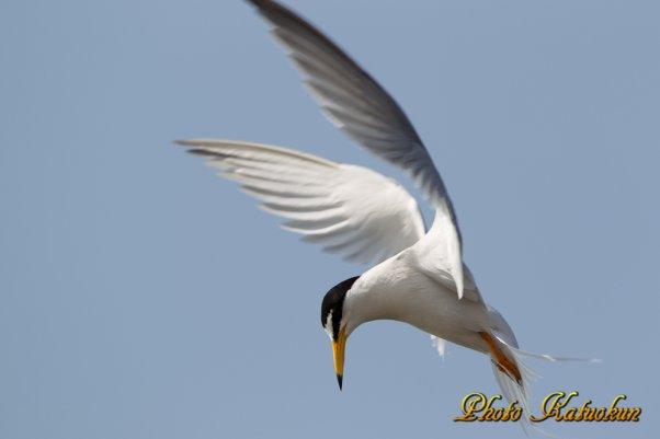 コアジサシ Little Tern