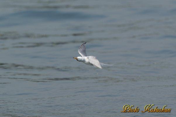 ダイブ後 羽の水を落とす行為 プルプル