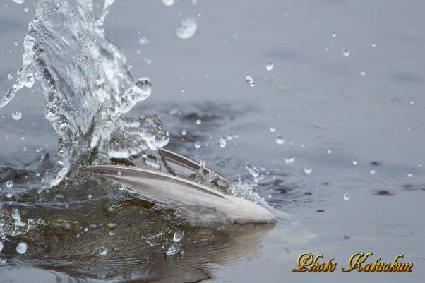 水中のコアジサシ