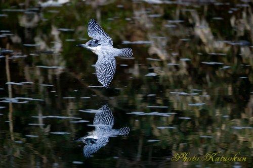 ヤマセミ Crested Kingfisher 写り込み EF540
