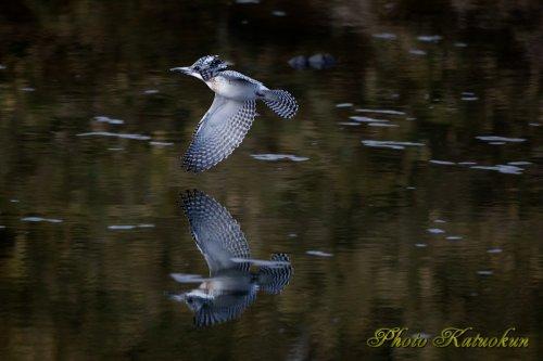 ヤマセミ Crested Kingfisher 写り込み