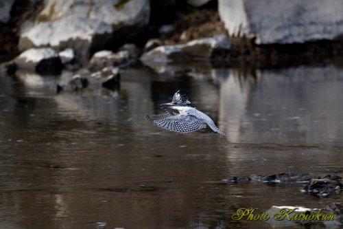 ヤマセミ Crested Kingfisher スロー飛行後 急停止
