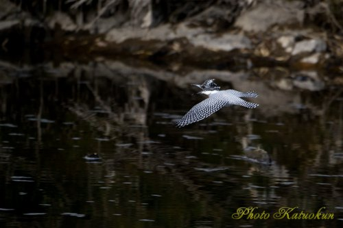 ヤマセミ Crested Kingfisher 鳴き飛び