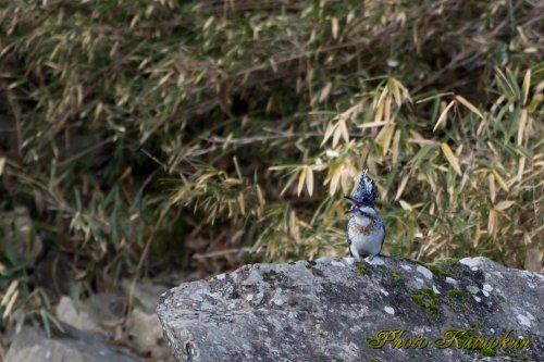 ヤマセミ Crested Kingfisher メス呼び