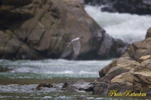 ヤマセミ Crested Kingfisher EF800 F5.6L