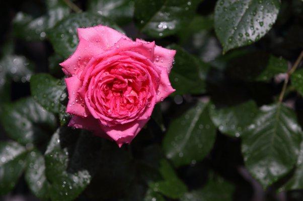 花持ちは良く 香りも長い