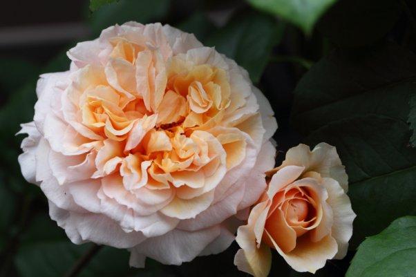 ヴェルシーニ Versigny 咲き進み ポンポンと開いた花