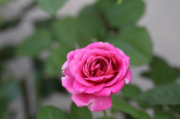 2番花 ※アニエスシリジェル 濃いピンクが出ました^^