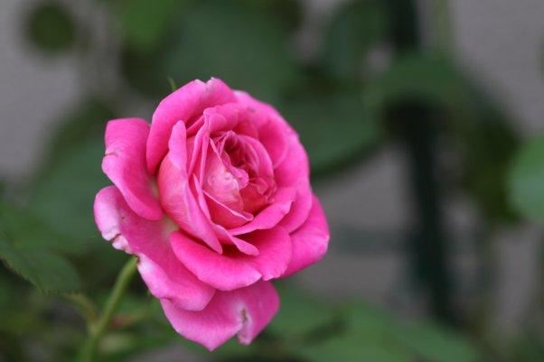 2番花 アニエスシリジェル 濃いピンクが出ました^^