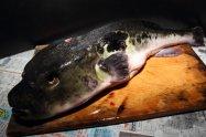 "Japanese pufferfish ""TORAFUGU"""