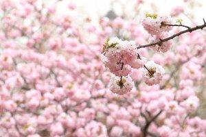 OSAKA ZOUHEIKYOKU Cherry Blossom Viewing 2011