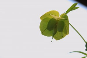 Hellebores Seed