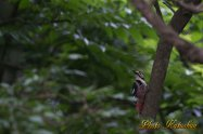 White-backed Woodpecker オオアカゲラ