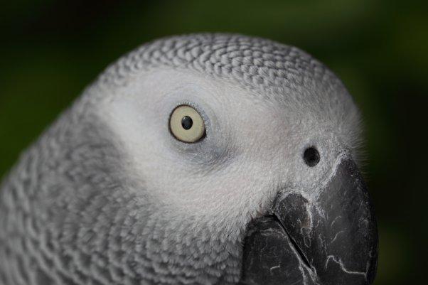 ピングー (ヨウム African Grey Parrot)