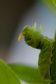 Swallowtail butterfly baby