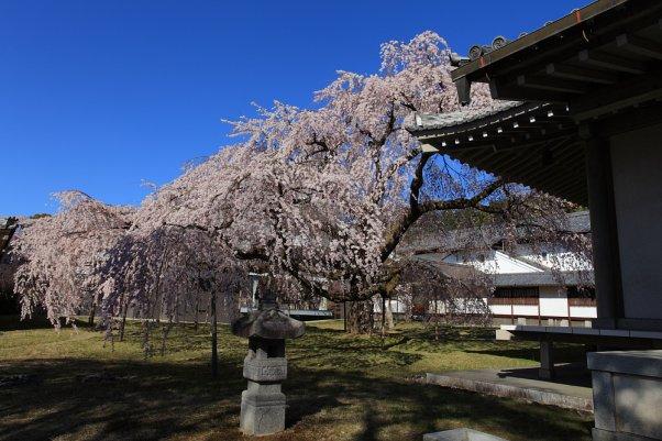 """醍醐寺 しだれ桜  """"Daigoji"""" Kyoto Japan"""