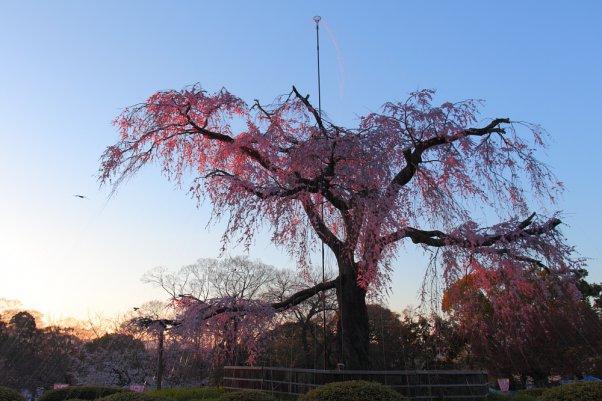 """丸山公園 しだれ桜  """"MaruyamaPark"""" Kyoto Japan"""