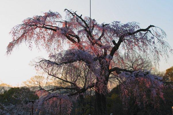 """丸山公園 """"MaruyamaPark"""" Kyoto Japan"""