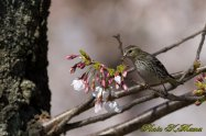 Cherry blossoms Carduelis spinus