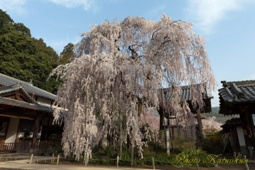 "奈良 大野寺 ""Oonotera The droop cherry blossoms"""